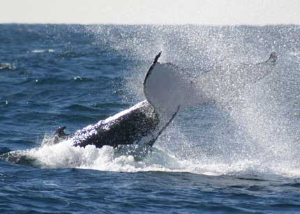 Whale Watching Sydney - Tweed Heads Accommodation
