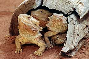 Alice Springs Reptile Centre - Tweed Heads Accommodation