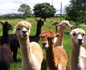 Banyandah Alpacas - Tweed Heads Accommodation