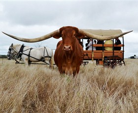 Texas Longhorn Wagon Tours and Safaris - Tweed Heads Accommodation
