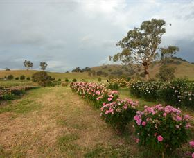 Damasque Rose Oil Farm - Tweed Heads Accommodation