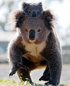 Koalas in Gunnedah - Tweed Heads Accommodation
