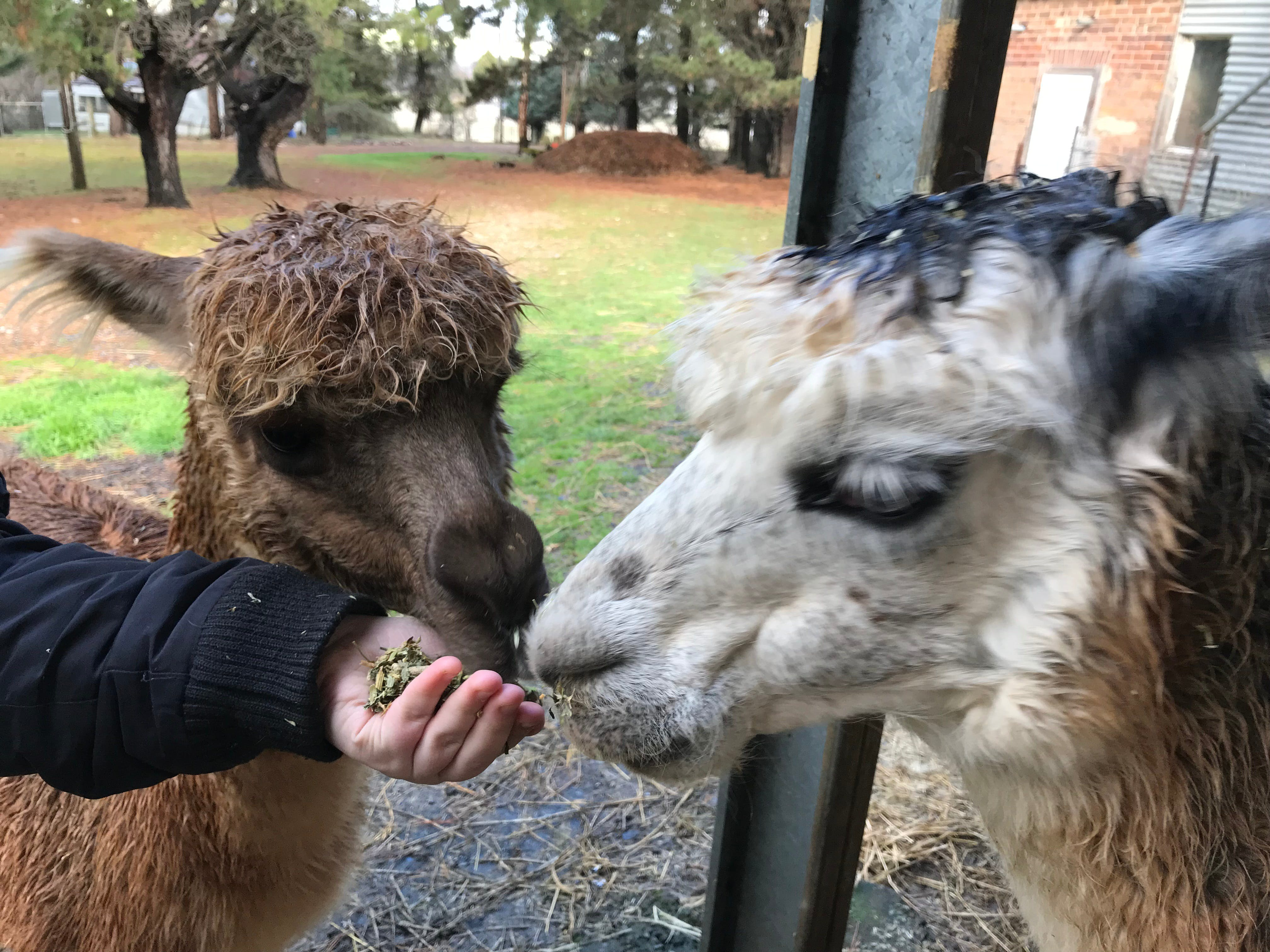 Alpaca Farm Experience at Crookwell - Tweed Heads Accommodation