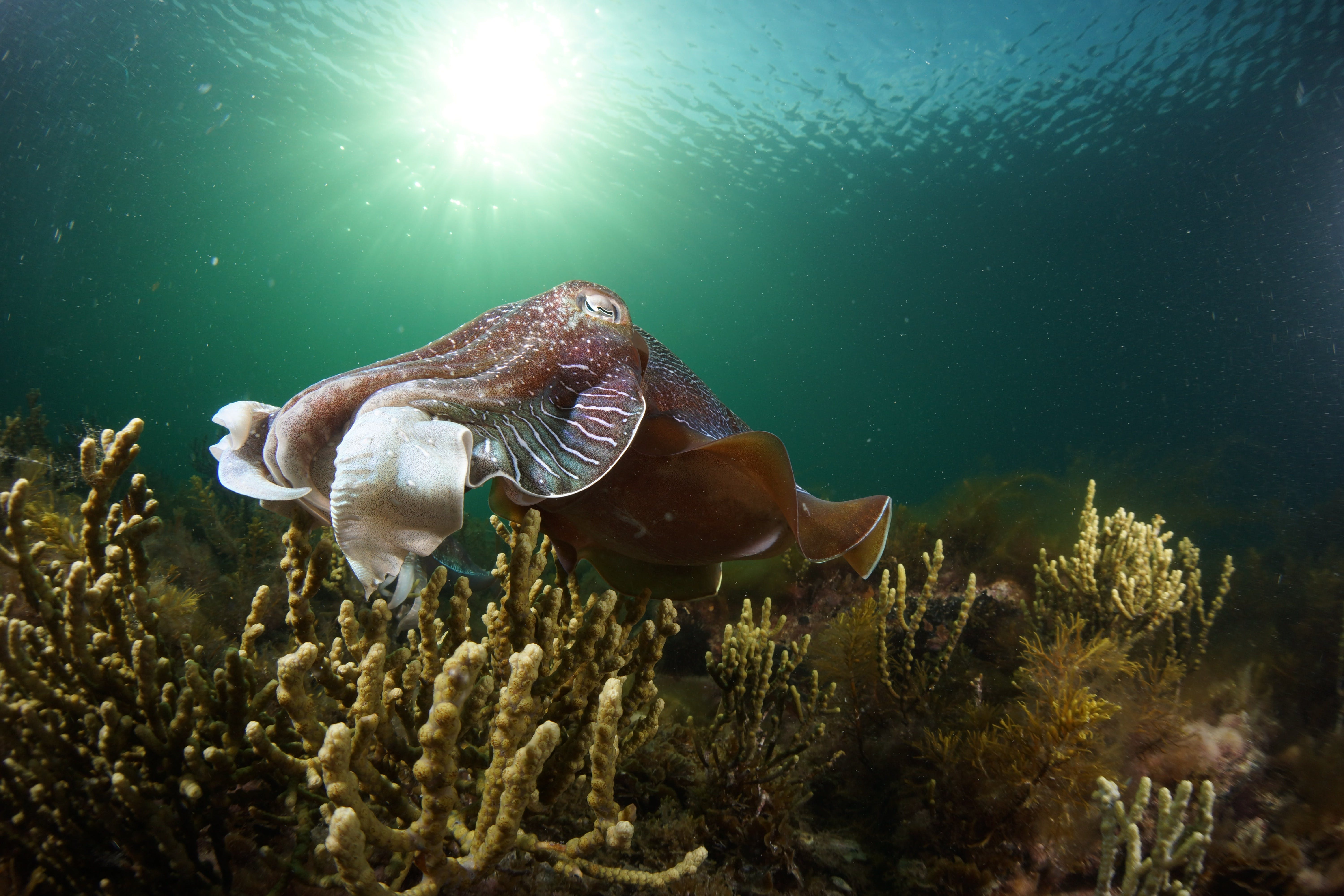 Cuttlefish Diving  Snorkeling EVERYDAY May -August - Tweed Heads Accommodation